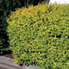 Ausplant Nursery - ligustrum lemon lime & clippers